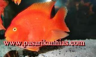 Jual Ikan Hias Red Parrot Harga Murah