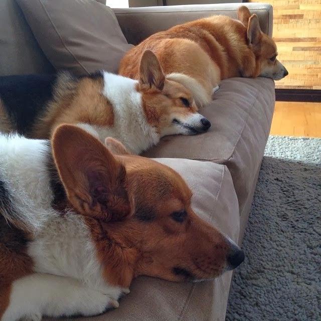Resultado de imagen para corgi sofa