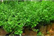 2 Khasiat dan Manfaat Herba Duranta Erecta