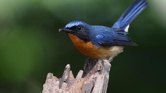 Download Suara Suling Burung Tledekan Laut Yang Merdu Gemar
