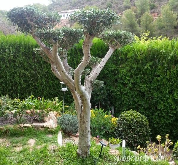 podar un olivo con forma guia de jardin