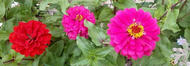 циннии цветут...