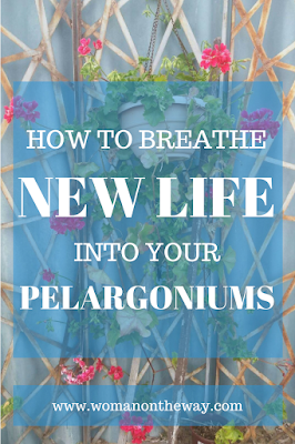 How to Breathe New Life into Your Pelargoniums/Geraniums