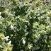 Η χλωρίδα μας: Prasium majus, Πράσιο το μέγα.