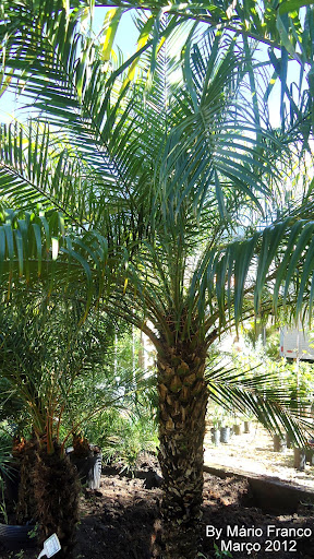 Tamareira-anã, tamareira-de-jardim, fênix, palmeira-fênix,