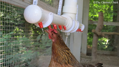 Access to clean, fresh, cool water at all times is imperative to the formation of eggs. Egg production will suffer if a hen's access is limited physically (frozen or too far away) restricted (prevented from reaching it by another chicken) or unpalatable (dirty/medicated/warm).