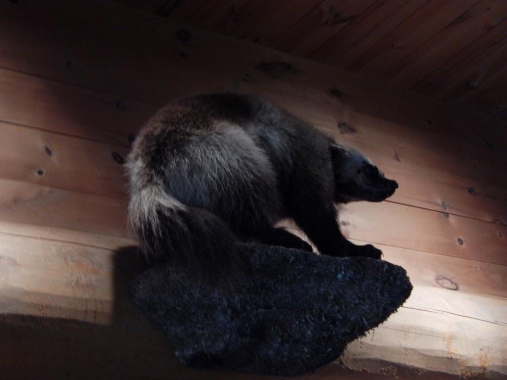 Hotel Sacacomie Québec Parc de la Mauricie animaux wolverine glouton carcajou