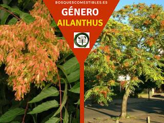 El género Ailanthus arboles de rápido crecimiento en altura, de propagación fácil