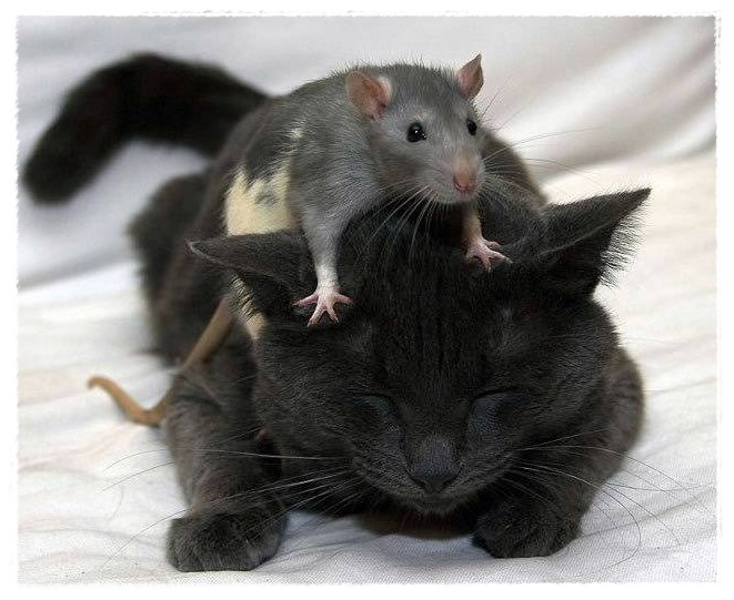 Gambar Tikus  Dunia Binatang