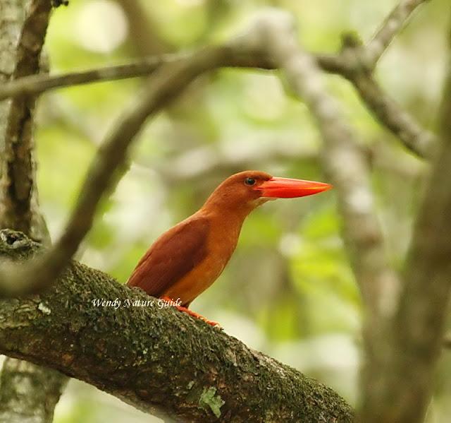 birds of langkawi