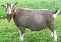 15 jenis kambing yang cocok untuk dibudidayakan atau diternak
