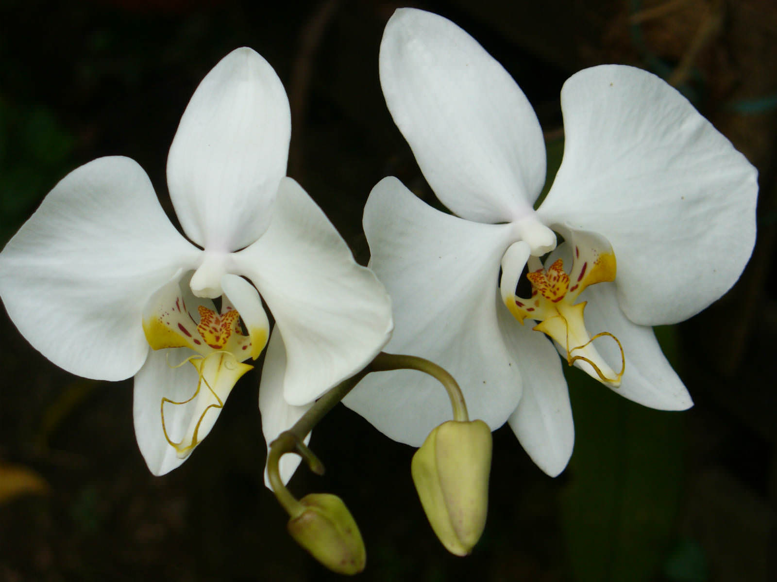 Grow And Care Phalaenopsis Aphrodite Orchid Aphrodites