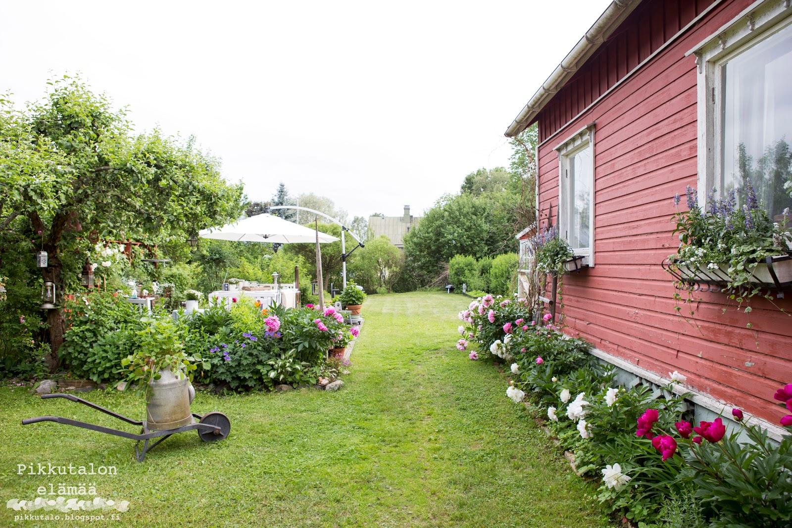 pionien kukinta vanhassa puutarhassa