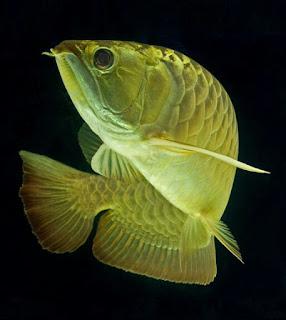 Jenis Ikan Arwana dan Harganya
