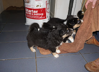 Australian Shepherd puppies - playing tag games