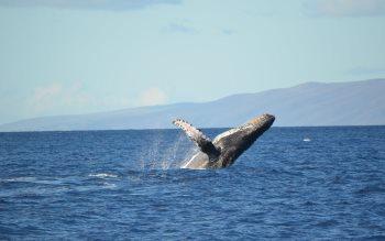 Wallpaper: Humpback Whale