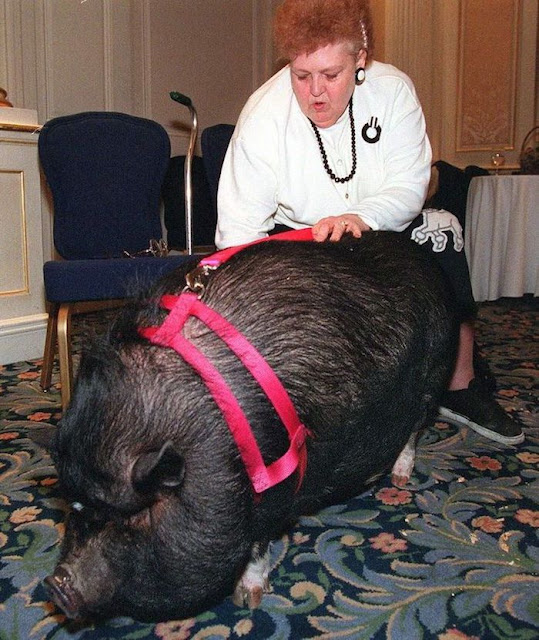 This Pot-Bellied Pig 'Played Dead' To Save Her Dying Owner