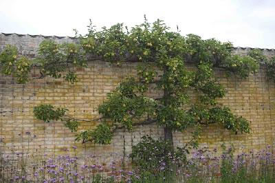Päronträd, Pyrus communis, Jätteverbena, Verbena bonariensis