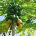 En que ayuda el papayo en su salud