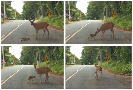Final feliz Mamãe corça resgata filhote assustado no meio da estrada - foto montagem