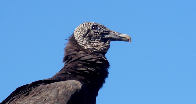 Black Vulture at Everglades National Park