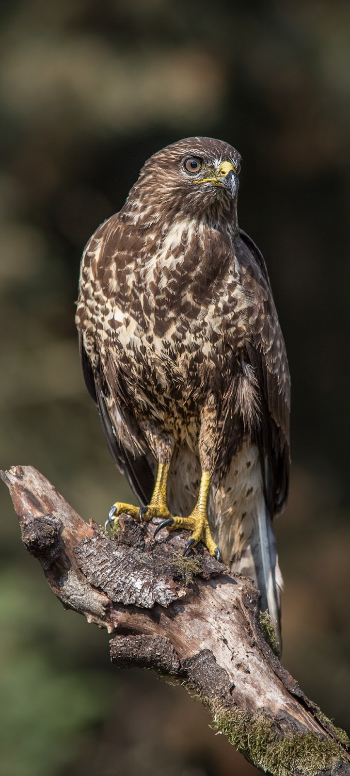 Picture of a sparrowhawk.