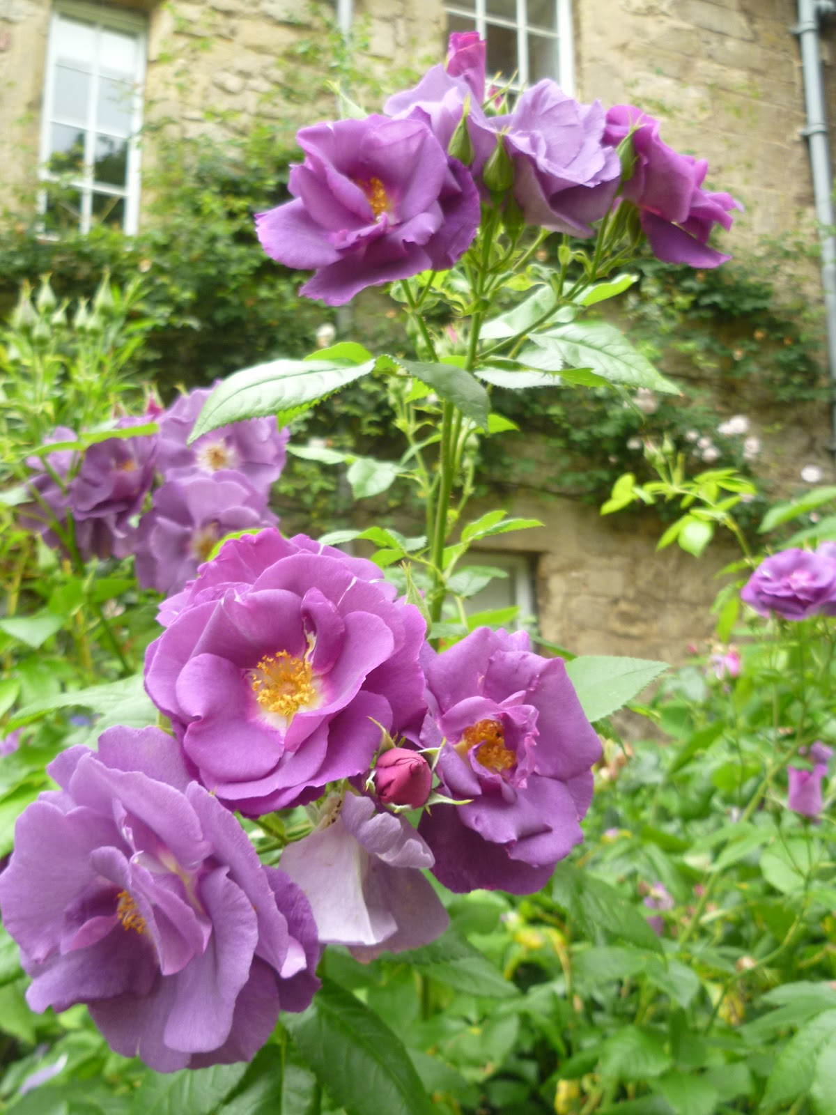 Worcester college gardeners rose rhapsody in blue on each stem are large clusters of sweet scented semi double flowers that seem to change colour as they mature purple mauve and the blueish for which izmirmasajfo