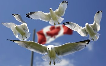 Wallpaper: Gulls and Canada flag in background