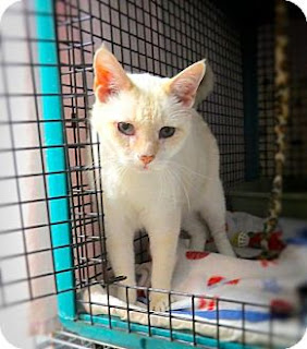 A flame-point Siamese mix seeking his forever home.