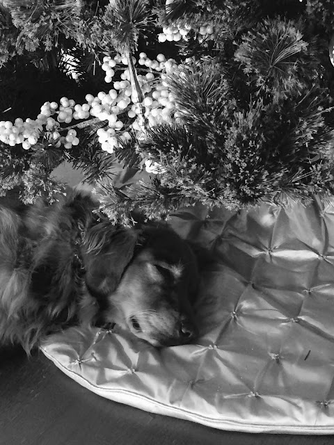 golden retriever dog sleeping under christmas tree #blackandwhitesunday