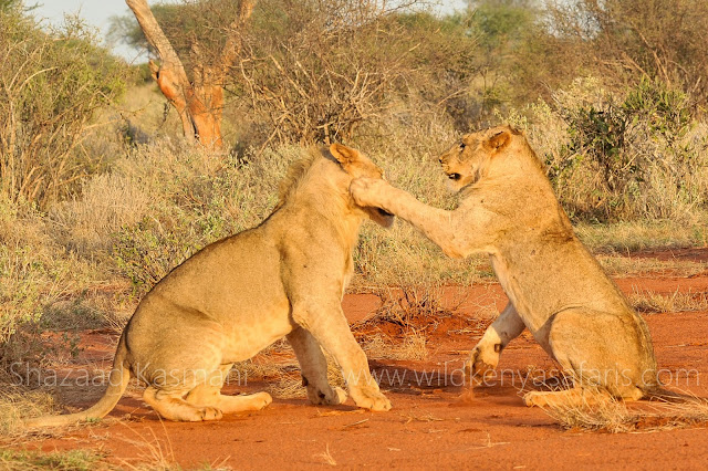 somak safaris, dm tours, wildlife kenya safaris, ladym safaris, diani safaris, diani beach safaris, wt safaris, you and nature safaris, pollmans safaris, orange safaris, kifaru safaris, 2 days safari in tsavo, 2 days safari at ngutuni, the best safaris in kenya, safari bookings