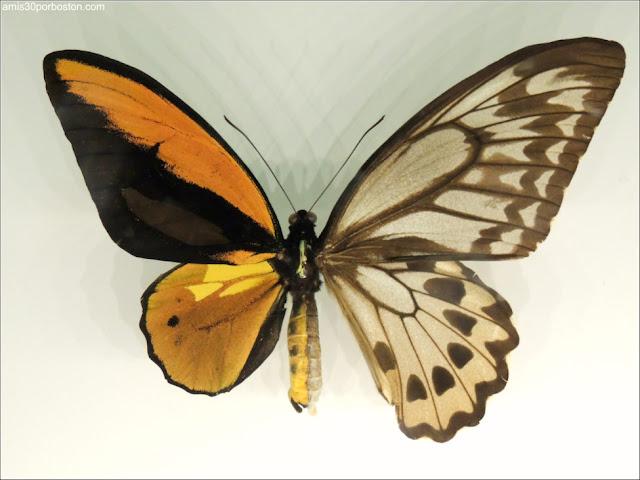 Mariposa Macho Hembra en el Insectarium de Montreal