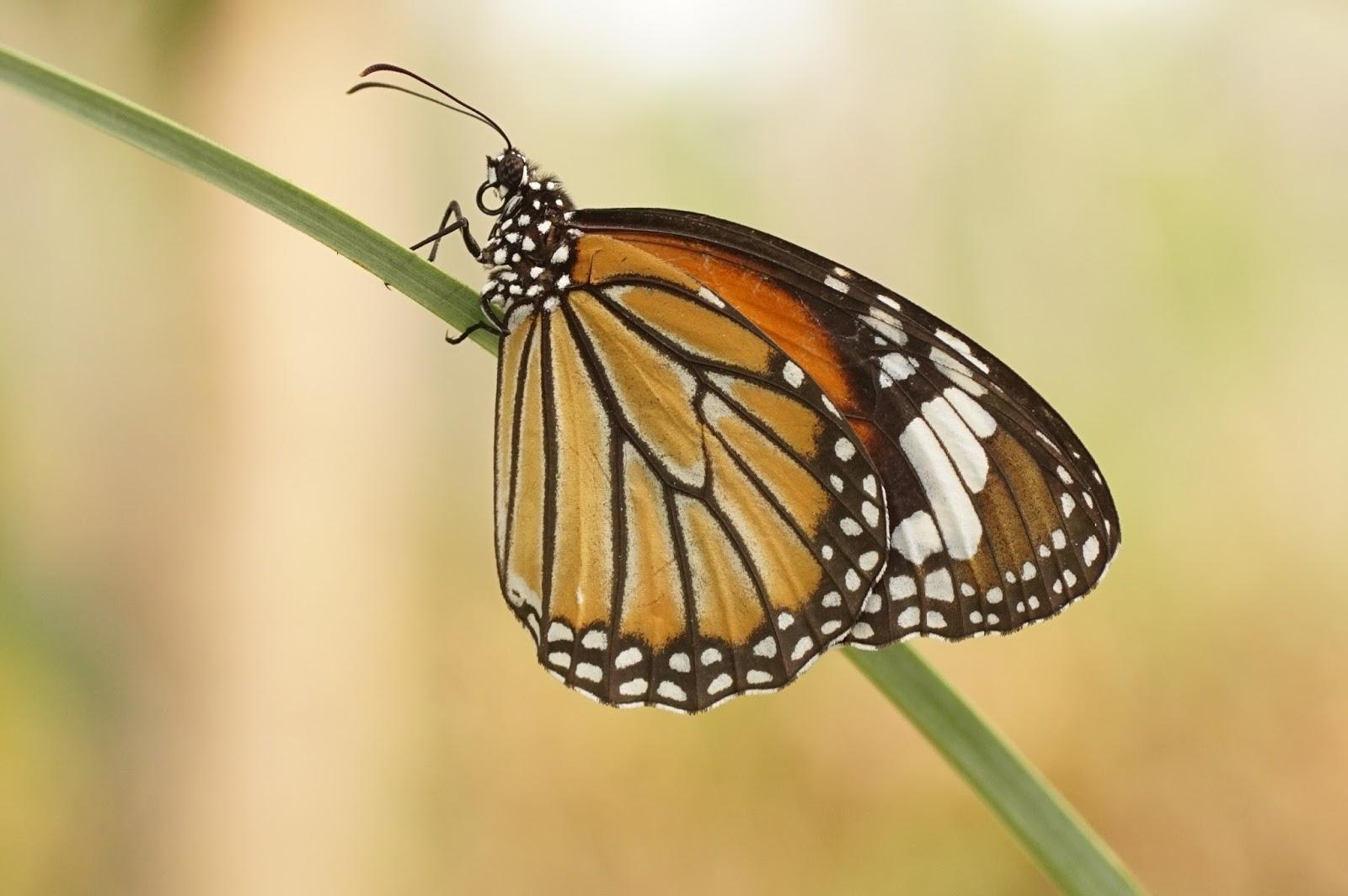 Insects: Danaus genutia