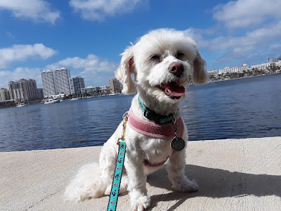 Both swanky Palm Beach & West Palm Beach in Florida are dog friendly.  My dog Phoebe catches the beauty of West Palm Beach from across the intercoastal  on the dog friendly Palm Beach Lake Trail.  Pet friendly travel destination. Travel with dogs.