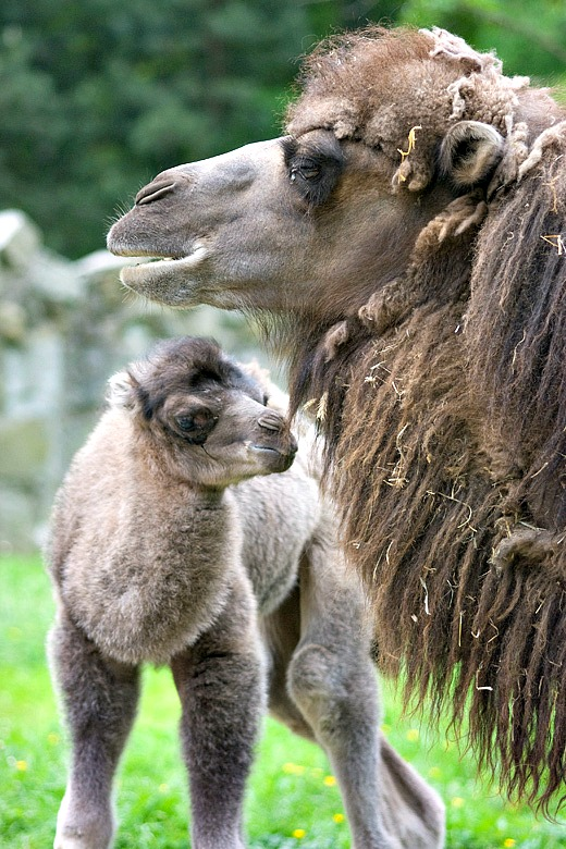 Baby Animals: Camel - Calf 5
