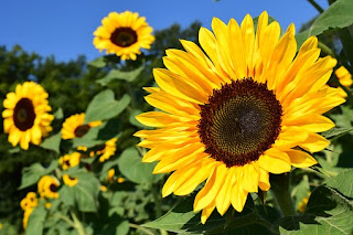 sunflower-www.healthnote25.com
