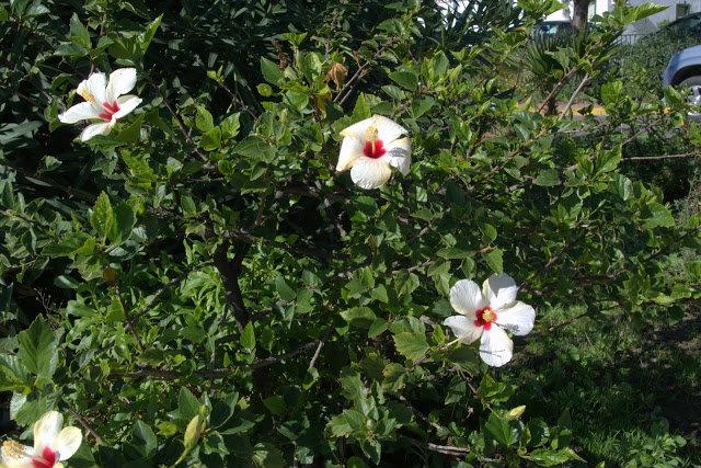 kwitnący hibiskus Hiszpania