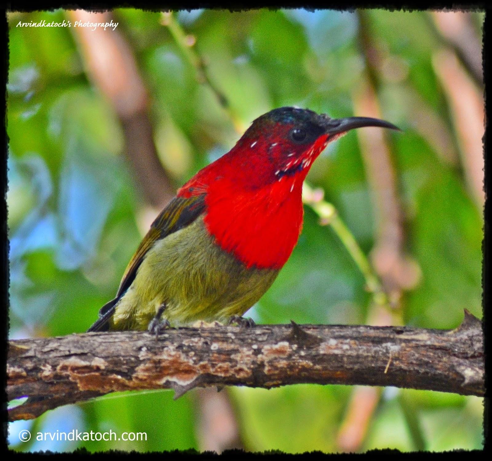 Crimson Sunbird, Sunbird, Himachal, Bird