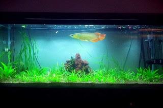 aquarium yang baik untuk arwana