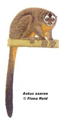 Azara´s night Monkey