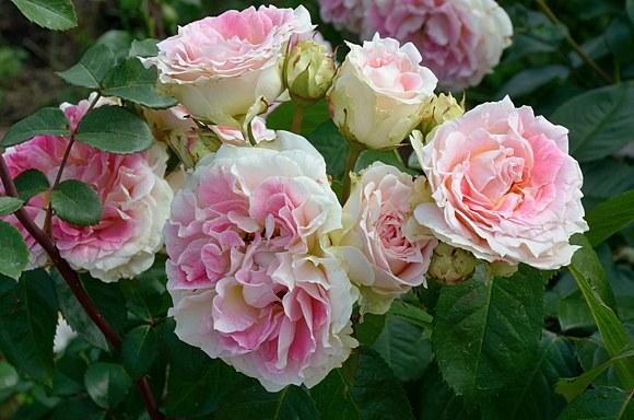 Cesar сорт розы фото купить саженцы Минск питомник