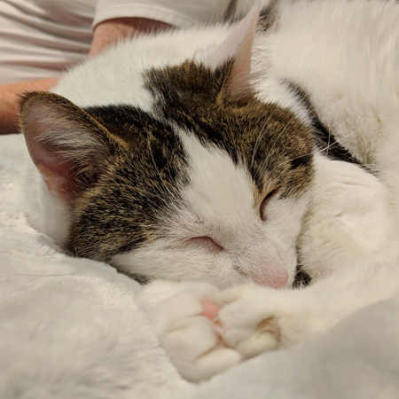 image of Olivia the White Farm Cat curled up on the couch, sound asleep