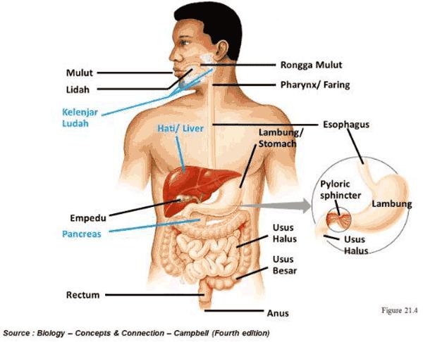 Sistem Pencernaan Nandur93
