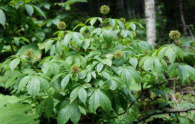 Pianta con frutti e foglie di eleuterococco o ginseng siberiano