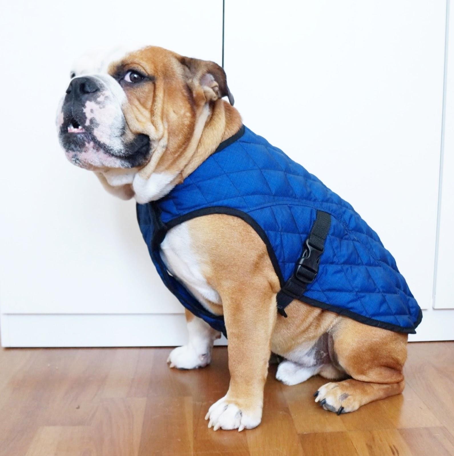 manteau rafraichissant AquaCoolKeeper chien  bulldog