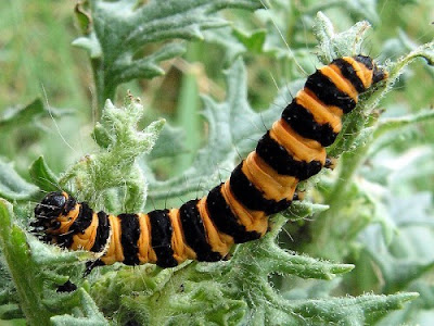 The Cinnabar Moth Caterpillar