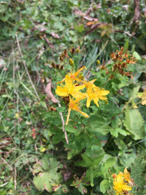 Hypericum maculatum –Spotted St Johnswort (Iperico macchiato, Erba di S. Giovanni macchiata)