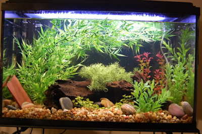 Cara Merawat Dan Memelihara Ikan Daun Air Tawar di Aquarium