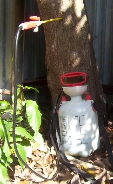 Aplicando Confidor (imidacloprid) contra mosca blanca en árbol de chirimoyas con el fertilizante Miracle-Gr