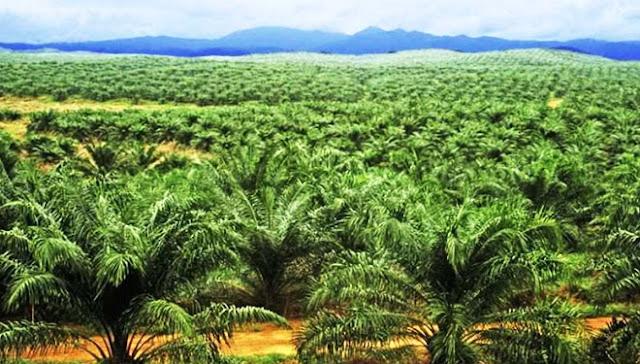 4.516 Hektar Target Peremajaan Sawit di Kalsel